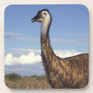 Australia, Australia occidental. Emu (Dromaius Posavasos