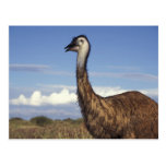 Australia, Australia occidental. Emu (Dromaius Tarjetas Postales