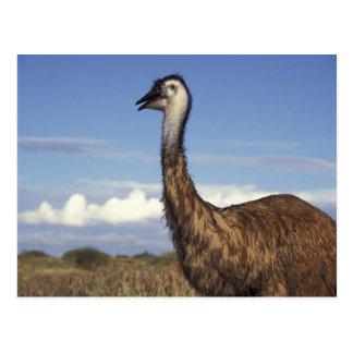 Australia, Australia occidental. Emu (Dromaius Postal