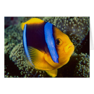 Australia, Great Barrier Reef, Anemonefish Greeting Card