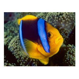 Australia, Great Barrier Reef, Anemonefish Postcard