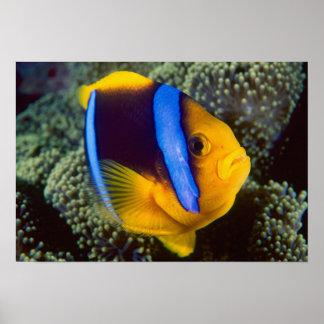 Australia, Great Barrier Reef, Anemonefish Poster