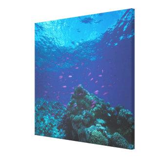 Australia, Great Barrier Reef. Swarming Purple Canvas Print