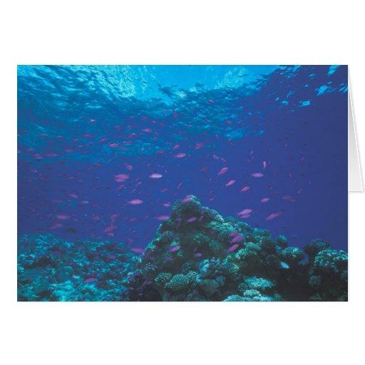 Australia, Great Barrier Reef. Swarming Purple Cards