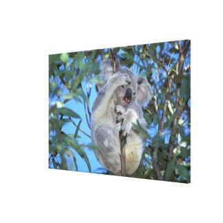 Australia Koala Phasclarctos Cinereus Gallery Wrap Canvas