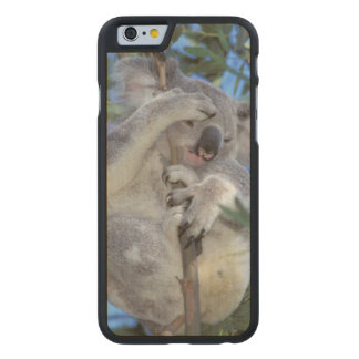 Australia, Koala Phasclarctos Cinereus) Carved Maple iPhone 6 Case