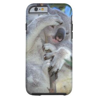 Australia koala Phasclarctos Cinereus