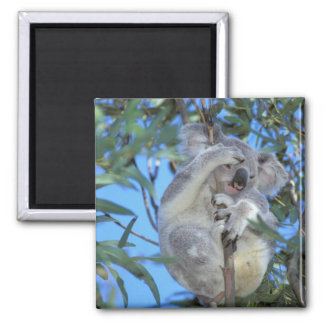 Australia, koala Phasclarctos Cinereus) Imán Cuadrado