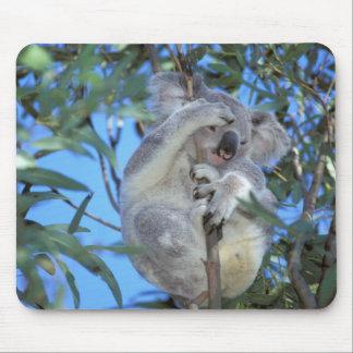 Australia, Koala Phasclarctos Cinereus) Mouse Pad