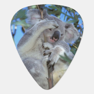 Australia, koala Phasclarctos Cinereus) Uñeta De Guitarra