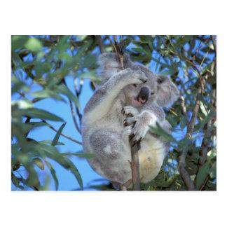 Australia, koala Phasclarctos Cinereus) Postal