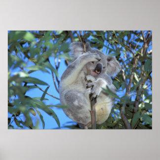 Australia, koala Phasclarctos Cinereus) Póster