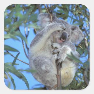 Australia, Koala Phasclarctos Cinereus) Square Sticker