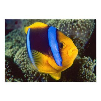 Australia, la gran barrera de coral, Anemonefish Fotografía
