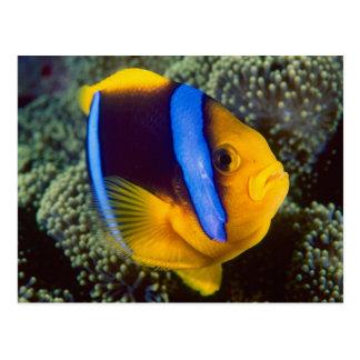 Australia la gran barrera de coral Anemonefish Tarjeta Postal
