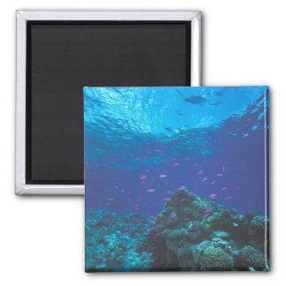 Australia, la gran barrera de coral. Púrpura el pu Imán Cuadrado
