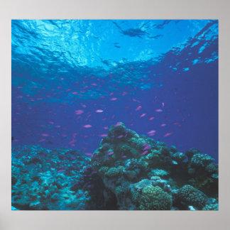 Australia, la gran barrera de coral. Púrpura el pu Poster