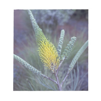 Australia, NT, near Ayers Rock. Springtime bloom Scratch Pads