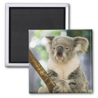 Australia, Queensland, Brisbane, Fig Tree Magnet