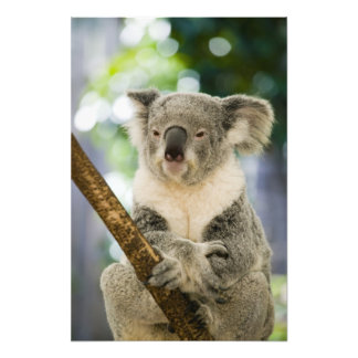 Australia, Queensland, Brisbane, Fig Tree Photograph