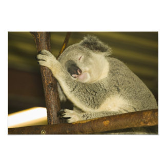 Australia, Queensland, Brisbane. Fig Tree Photo Print