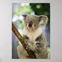 Australia, Queensland, Brisbane, Fig Tree Poster
