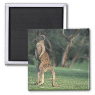 Australia, Vic. Canguro en el golf de Anglesea Imán Cuadrado