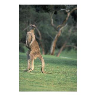 Australia, Vic. Canguro en el golf de Anglesea Arte Fotografico