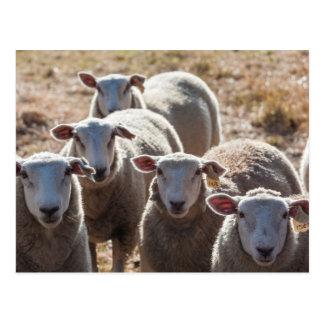 Australia, Victoria, Yarra Valley, sheep farm Postcard