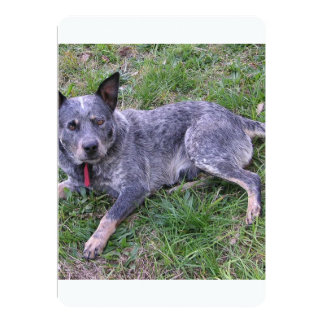 Australian_blue_cattle_dog_laying.png Card