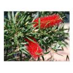 Australian Bottlebrush Postcard