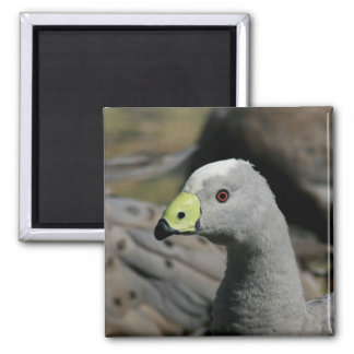 Australian Cape Barren Goose Refrigerator Magnet
