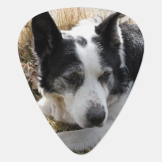 australian-cattle-dog-2 guitar pick