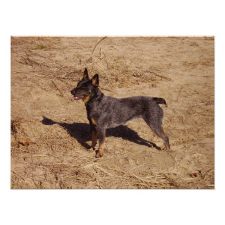 Australian Cattle Dog on Canvas Poster