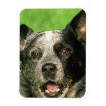 Australian Cattle Dog Premium Magnet Rectangular Magnet