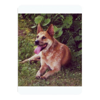 australian cattle dog red laying.png card