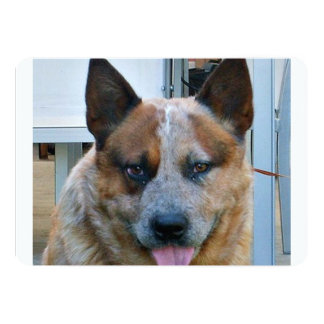 australian cattle dog red.png card