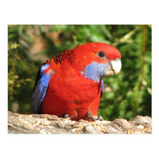 Australian Crimson Rosella Post Card
