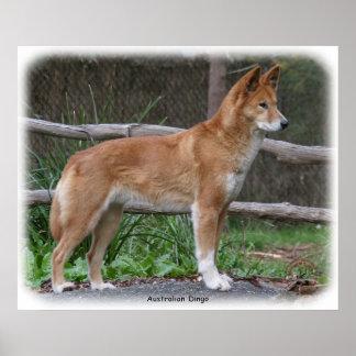 Australian Dingo 9Y209D-268 Poster