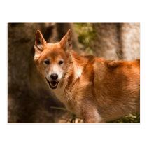 Australian dingo postcard