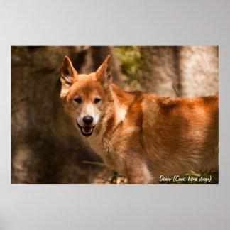 Australian dingo poster