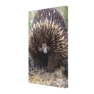 Australian Echidna Cute Animal Photo Canvas Print