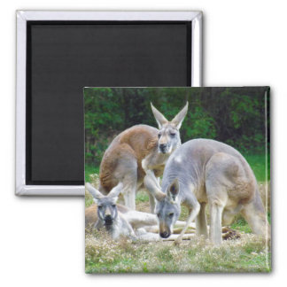 Australian Kangaroos Relaxing in the Sun 2 Inch Square Magnet