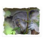Australian Koala Postcard