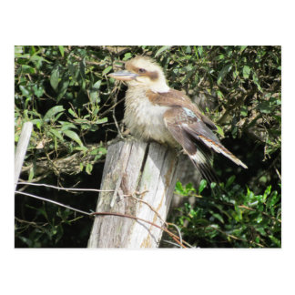Australian Kookaburra (Kingfisher Family) Postcard