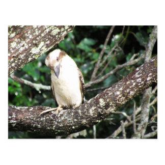 Australian Kookaburra Waiting For Food Postcard