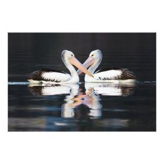 Australian Pelicans Pelecanus Conspicillatus Photo Print