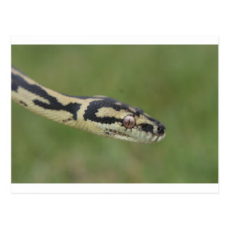 Australian Python Post Cards
