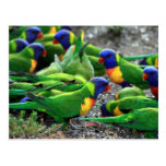 Australian Rainbow Lorikeets Post Card