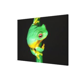 Australian Red Eye Treefrog, Litoria chloris, Canvas Print